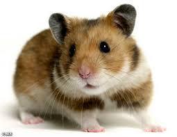 Principal Pets - Hamsters